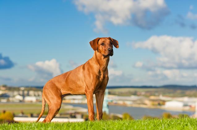 Il Rhodesian Ridgeback, un cane che vi stupirà.