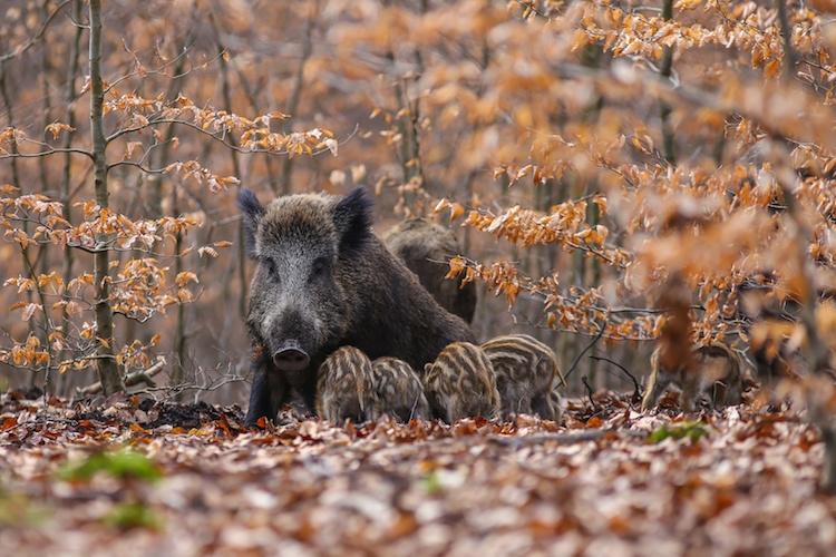 I Cinghiali Sono Fauna Selvatica E Quindi Patrimonio Indisponibile