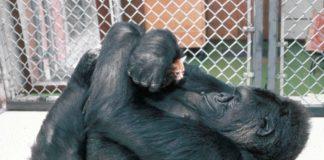 koko il gorilla