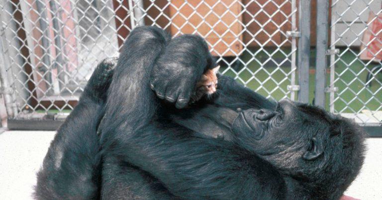 Koko, il gorilla che sapeva parlare con il linguaggio dei segni