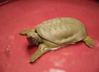 tartaruga cinese