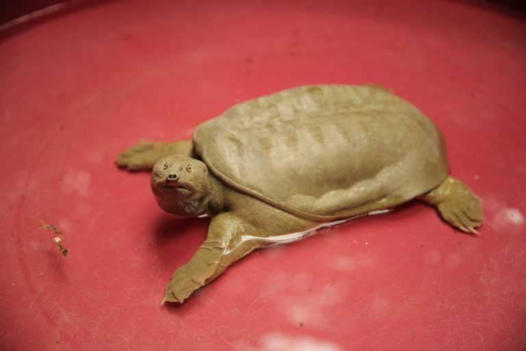 Una strana tartaruga sul Lago di Garda