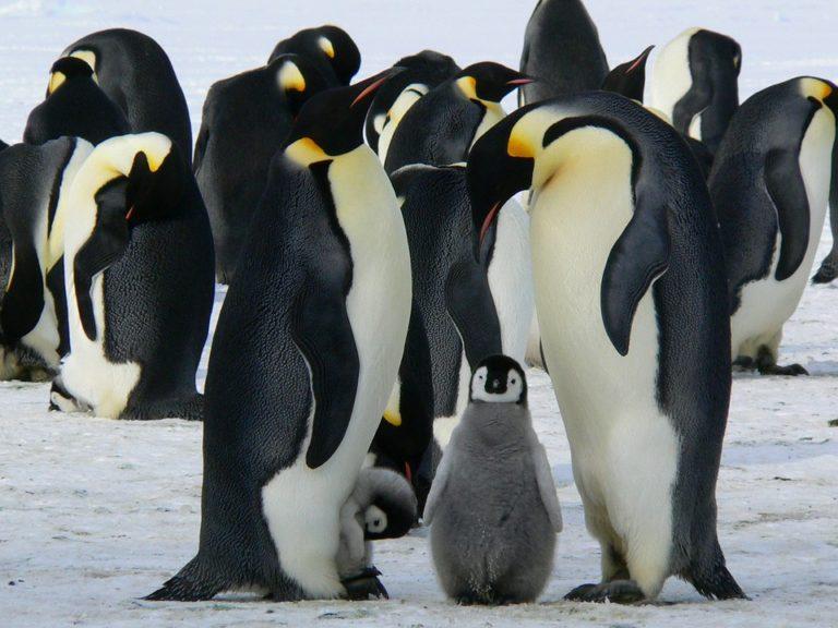 Alla scoperta di una delle specie più curiose: chi sono i pinguini?