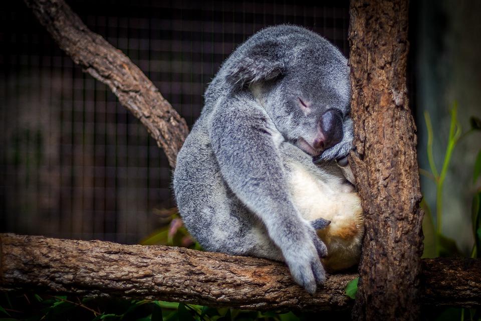 I Koala australiani salvati dai droni
