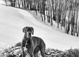 razze di cani più grandi del mondo