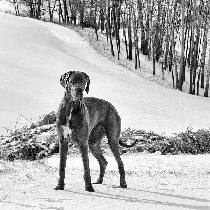 Le 5 razze di cani più grandi del mondo