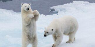 curiosità sull'orso polare