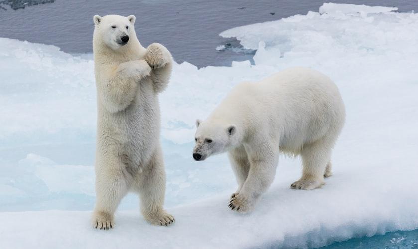 Curiosità sull'orso polare che forse non sai