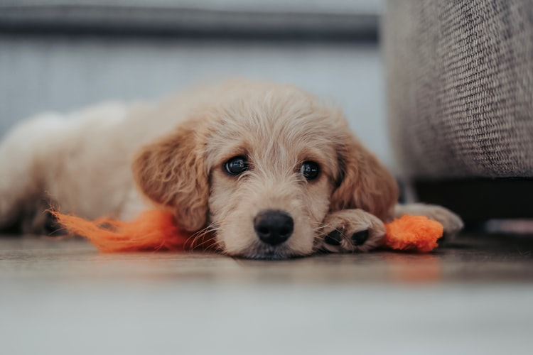 Cani e coronavirus: gli animali domestici possono trasmettere il covid-19 all'uomo?