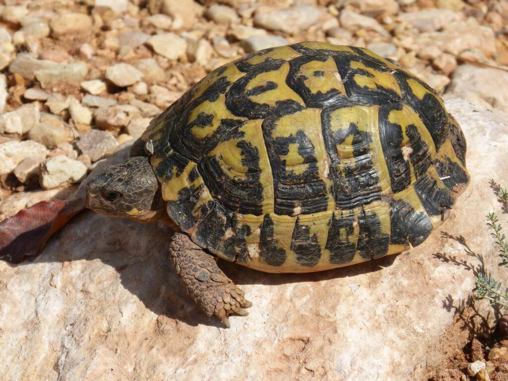 Tartaruga mediterranea
